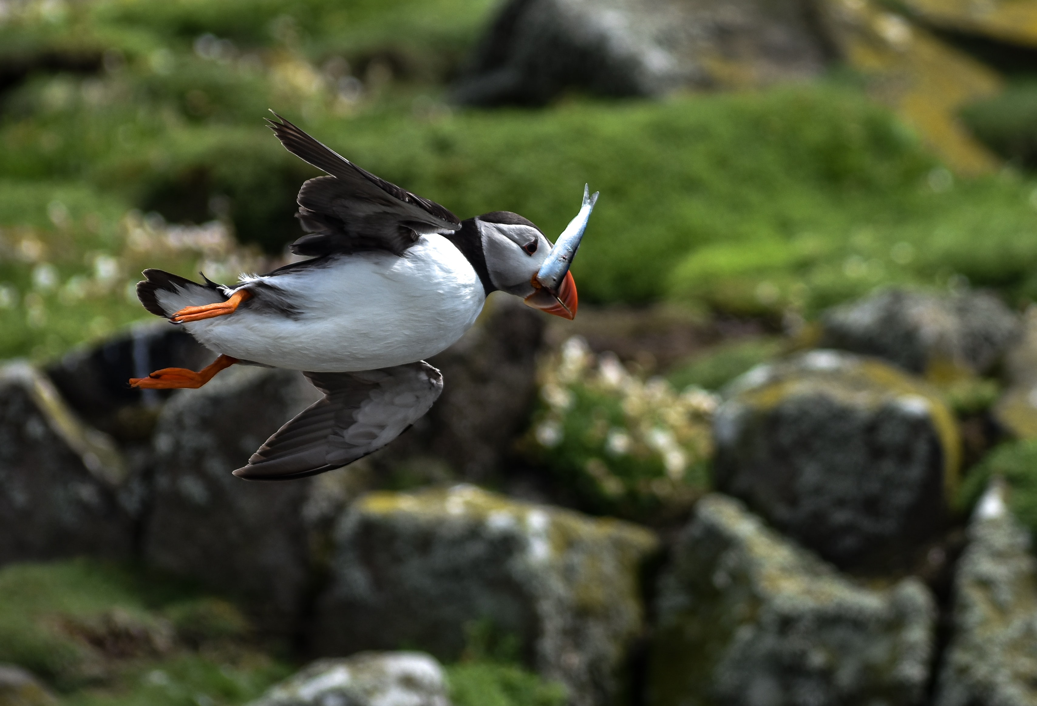 photo of flying puffin bird catching fish