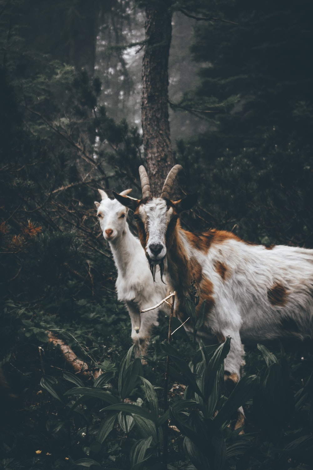 two brown and white goats standing near brown tree during daytime