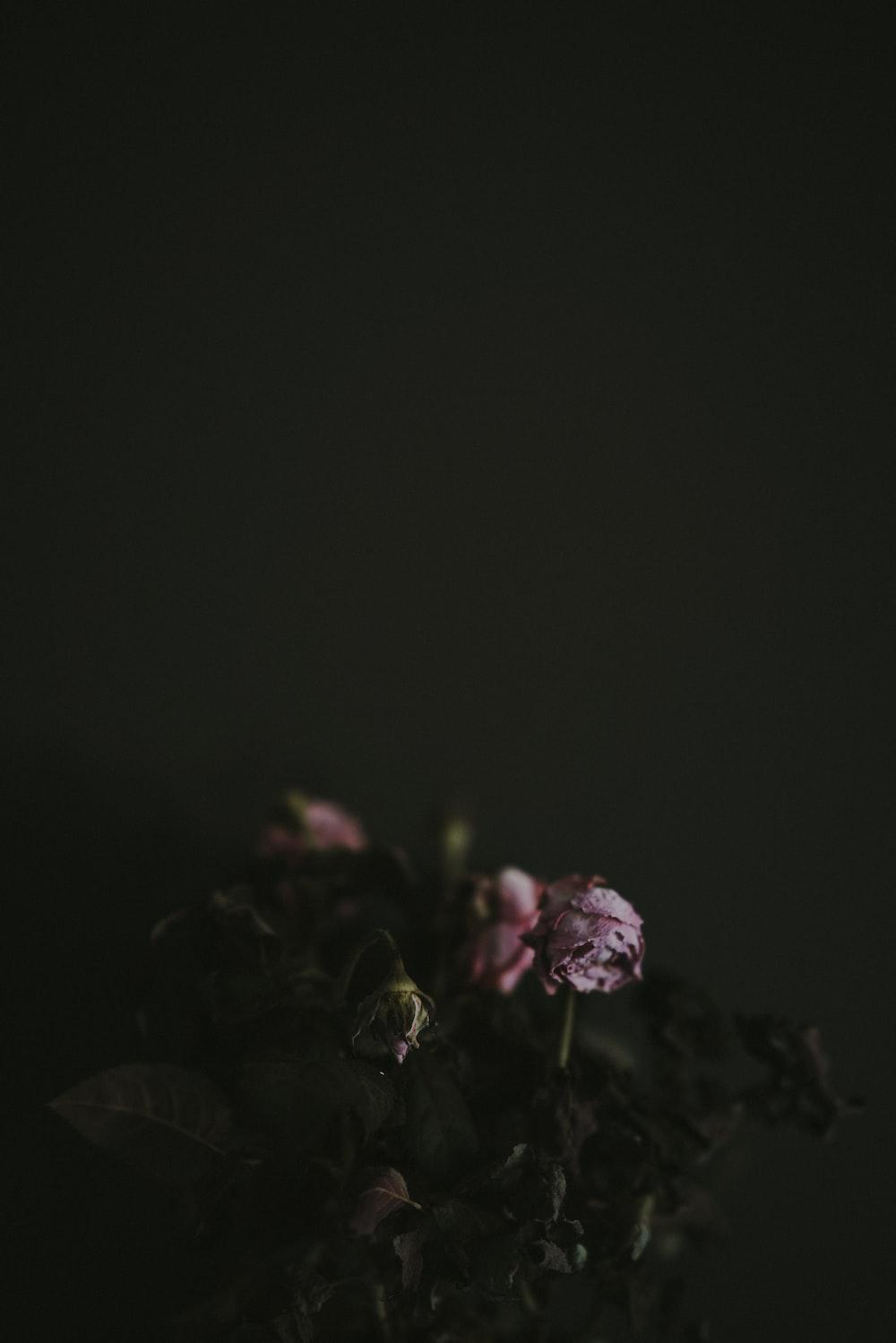 dead roses wallpaper