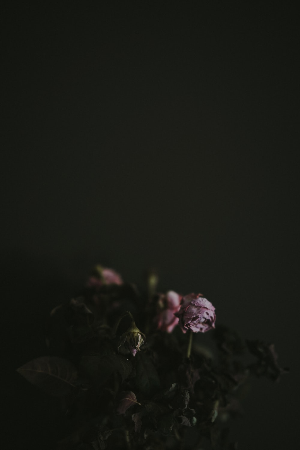 Best 100 Black Rose Pictures Download Free Images On Unsplash