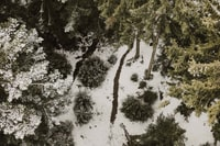 aerial view of tall trees covered with snow