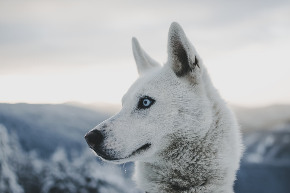 selective focus of wolf at daytime