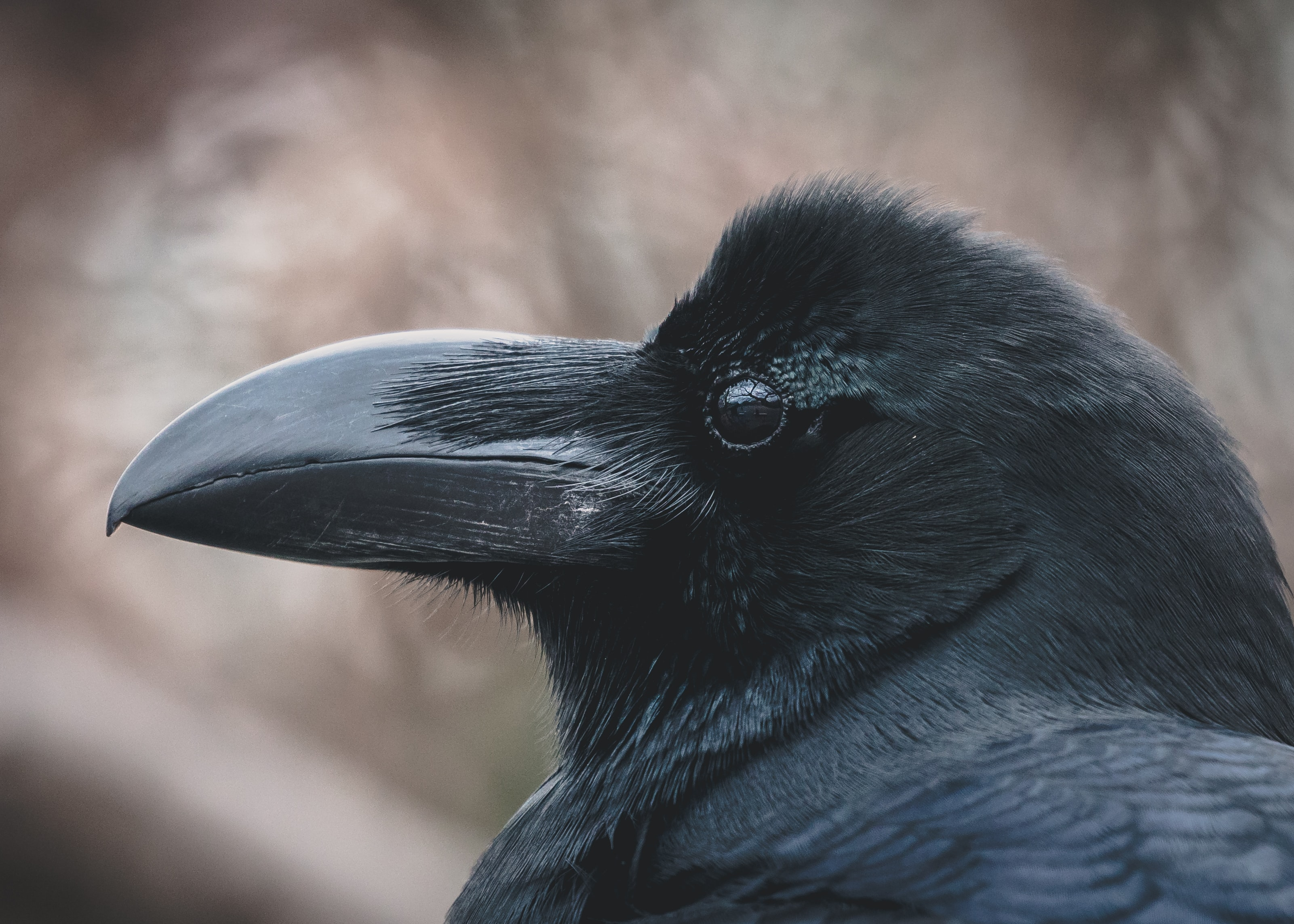 raven face in shallow focus lens