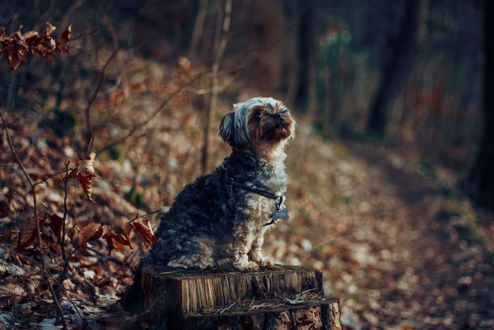 curly-coated white and brown dog on brown wood log in forest