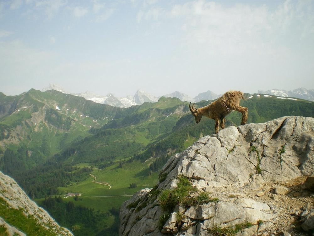 brown mountain ram standing on gray rock mountain