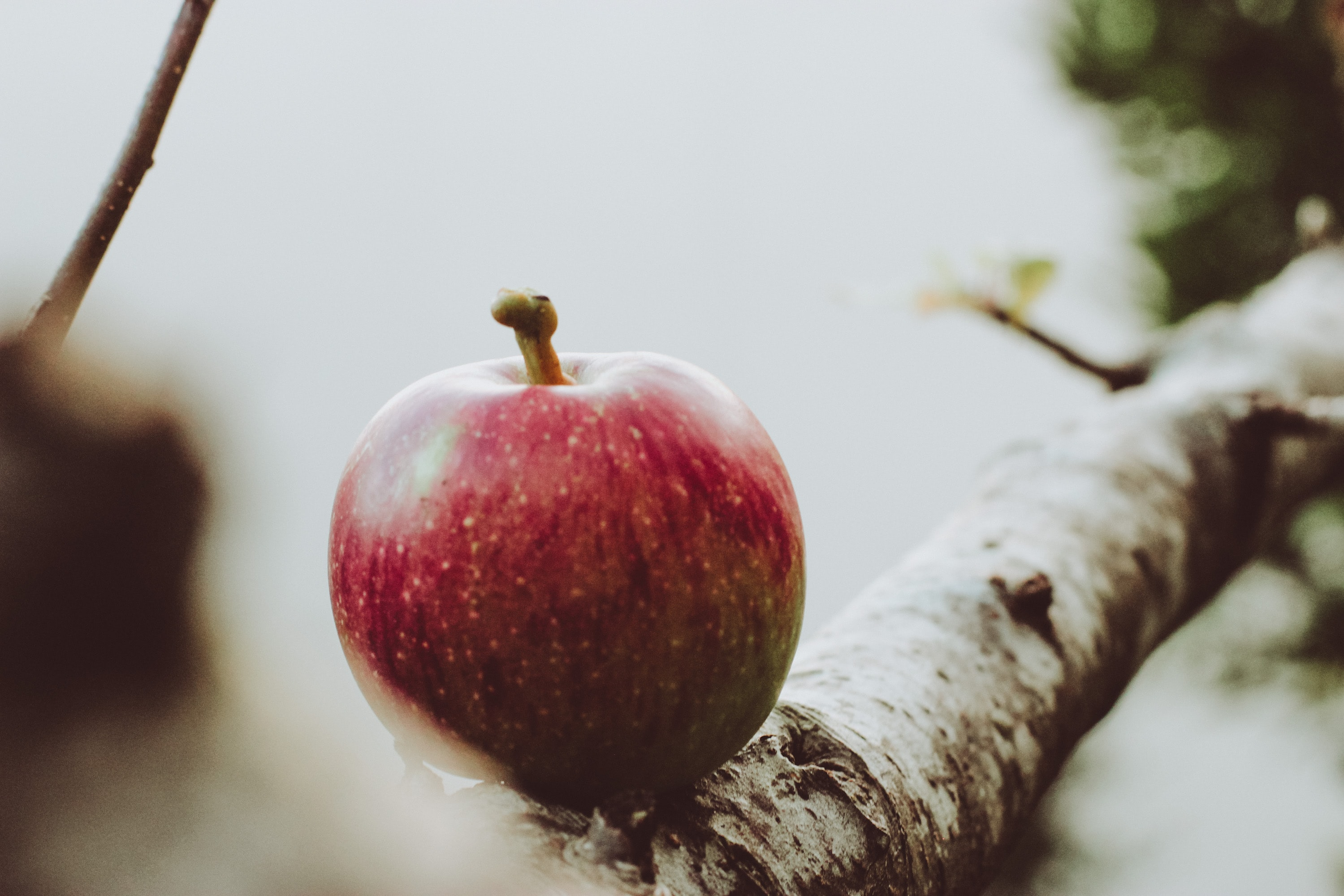 red apple on tree branch
