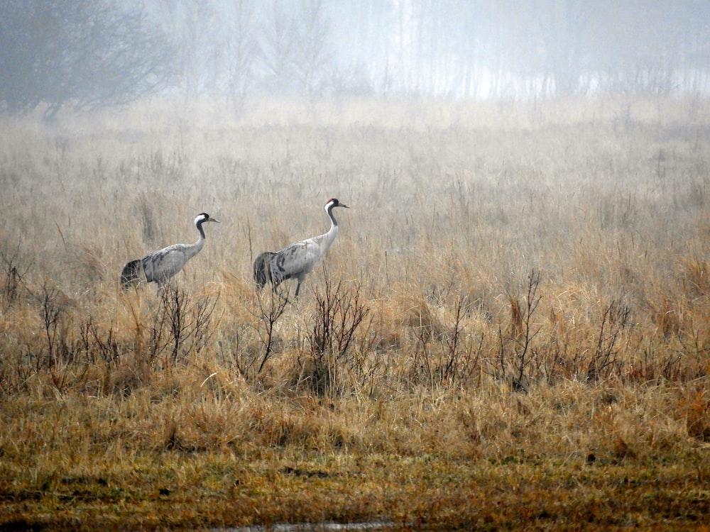 two short-beak white birds walking on grass