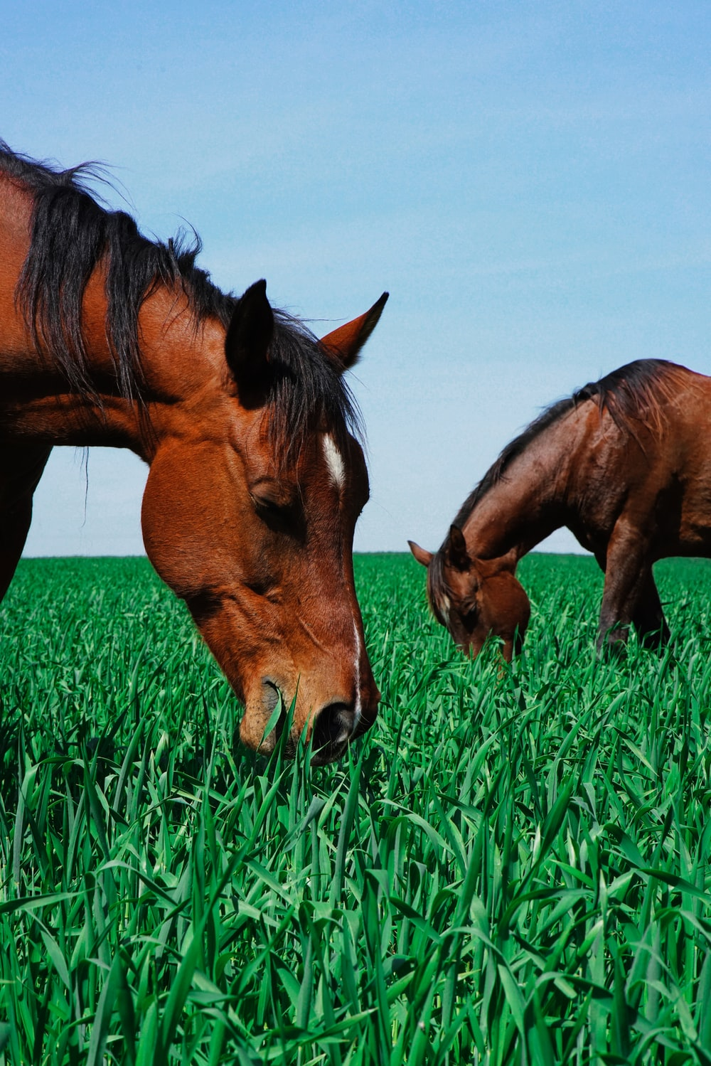 two brown horses eating grass