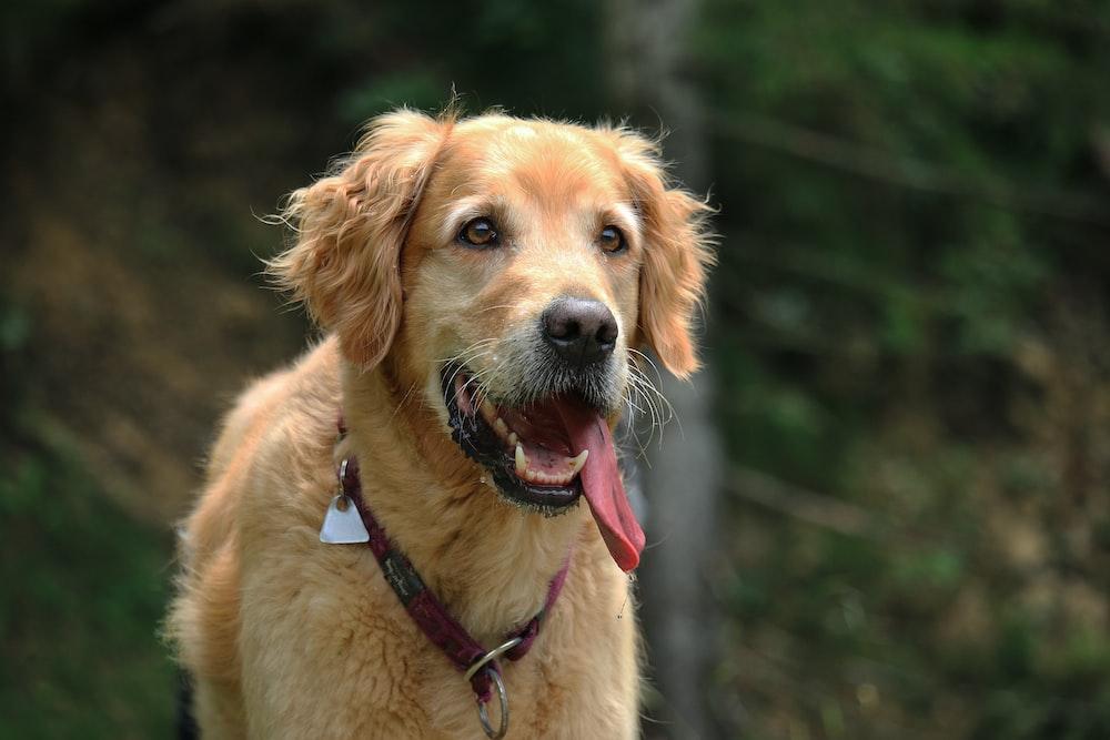 closeup photo of short-coated tan dog