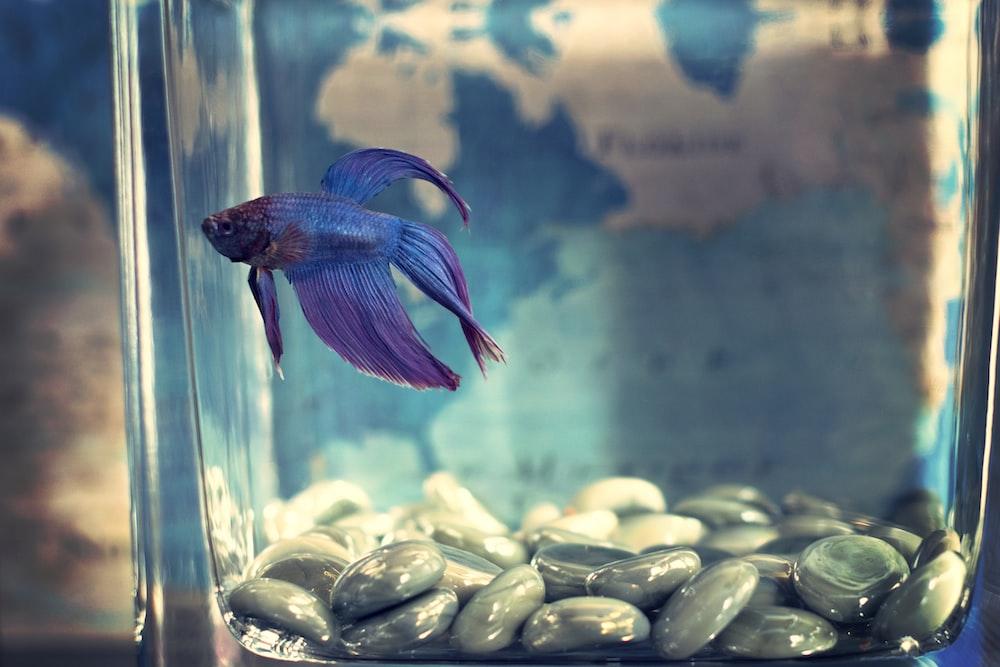 blue and purple guppy fish swimming on aquarium