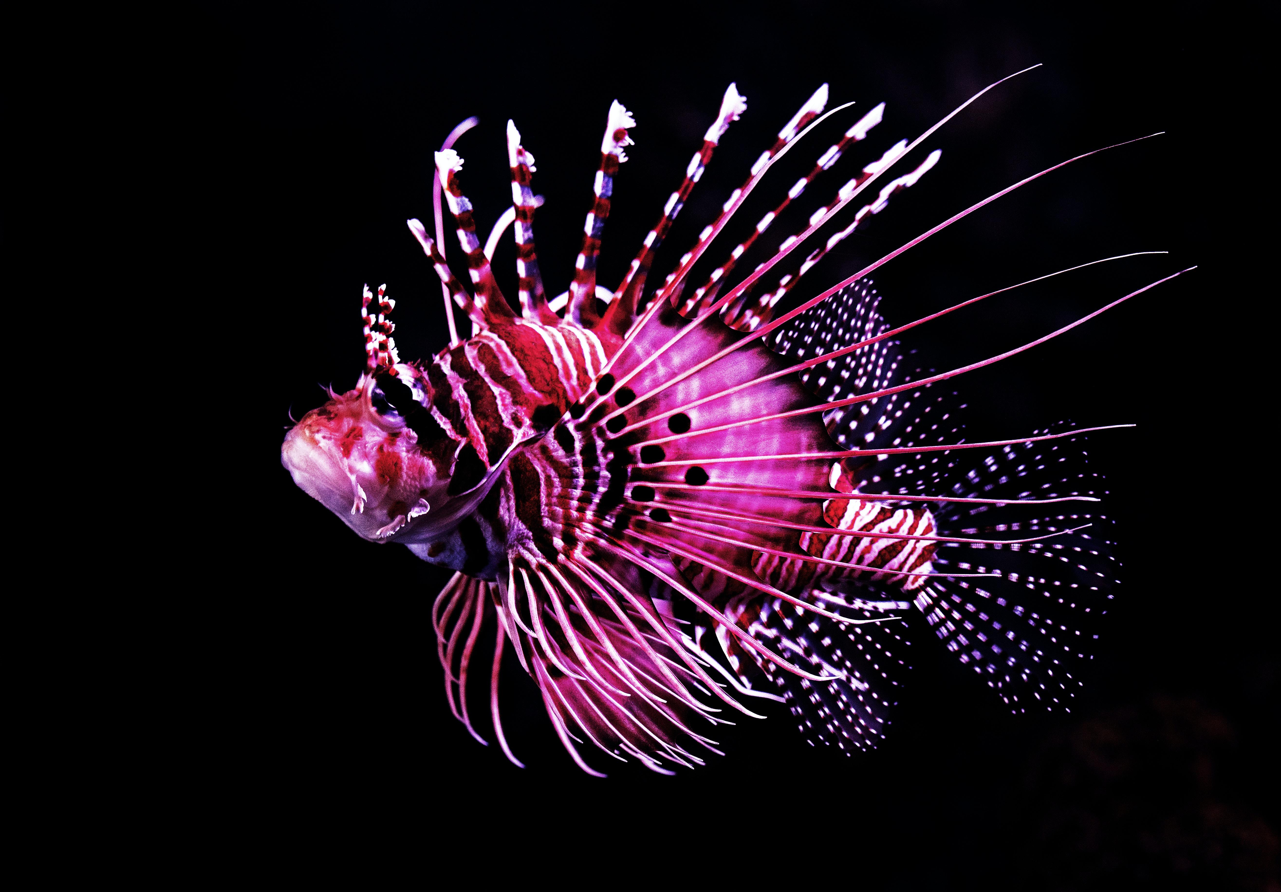 pink tiger fish
