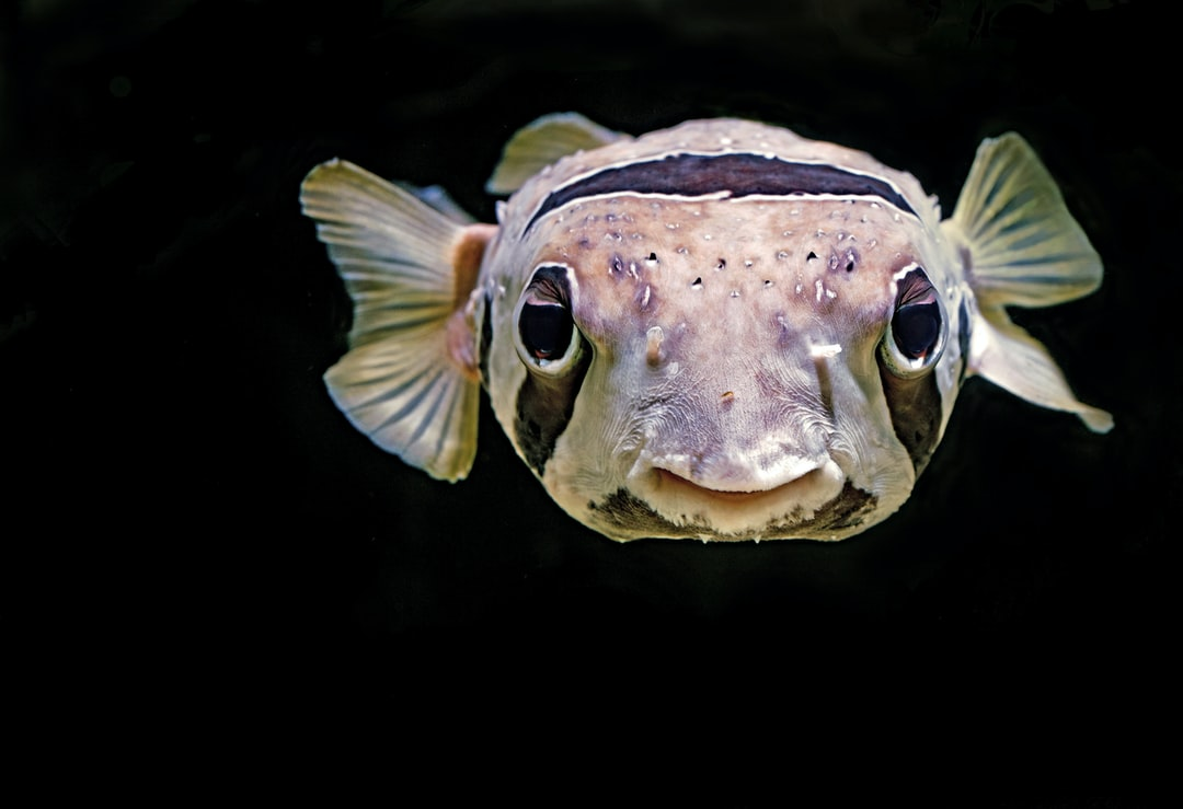 They call him E. T. (the staff at the Cairns Aquarium). He is a Black-blotch Porcupinefish. If they feel threatened they can puff themselves up into a ball covered with spines to protect themselves (the fish, that is).