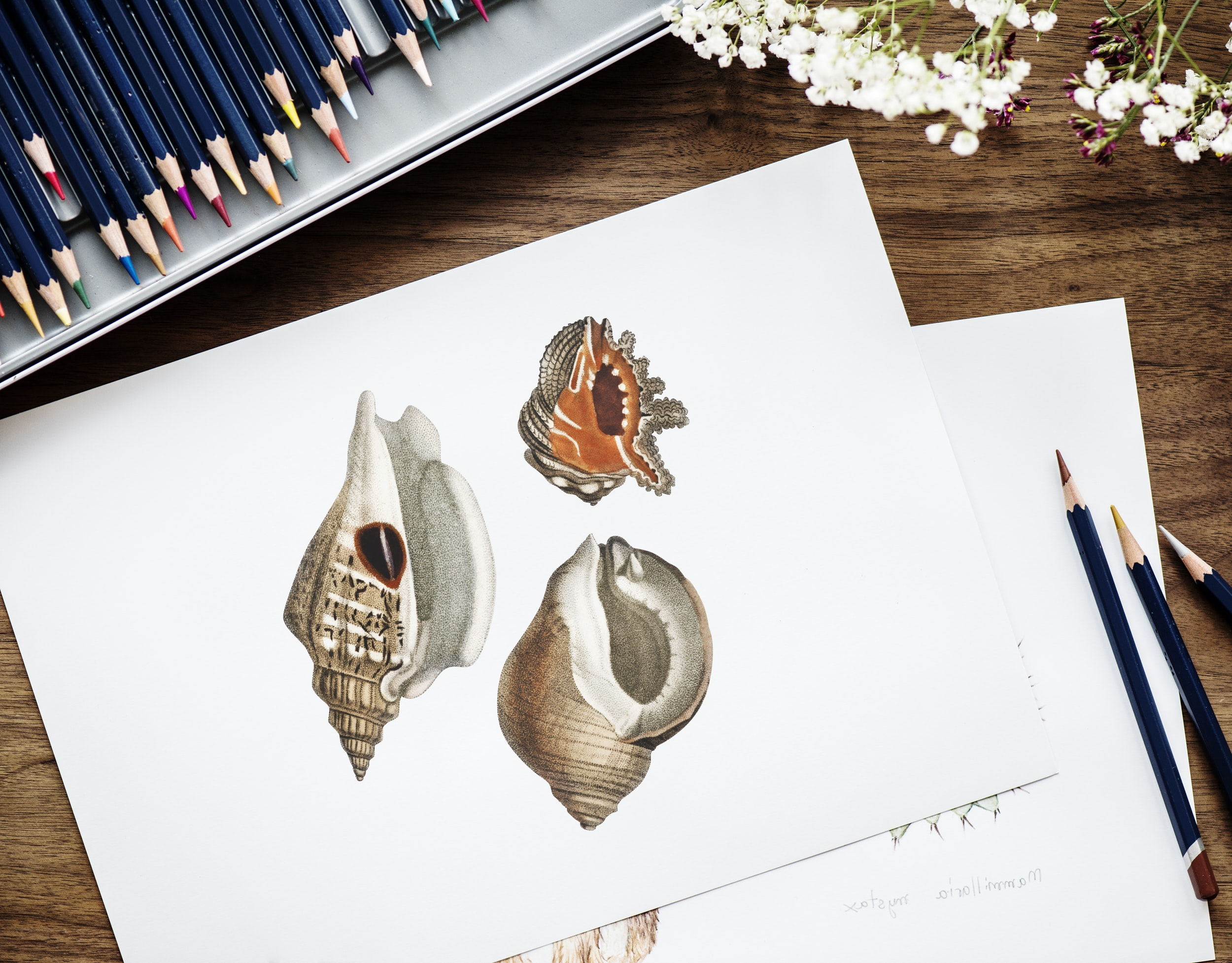 three seashell illustration