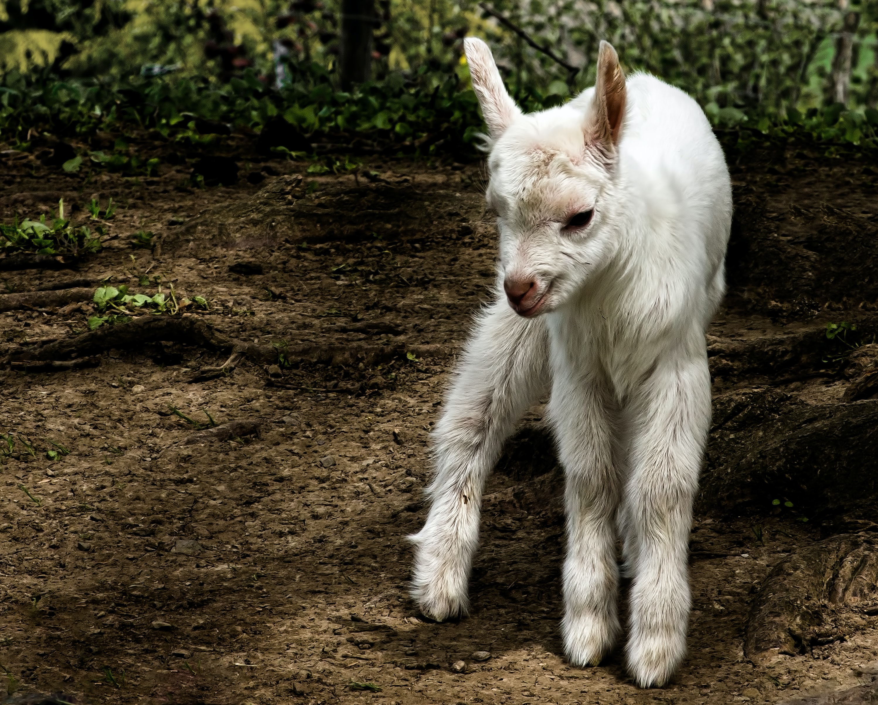 white kid goat standing on land