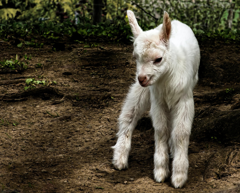 white kid goat standing on land