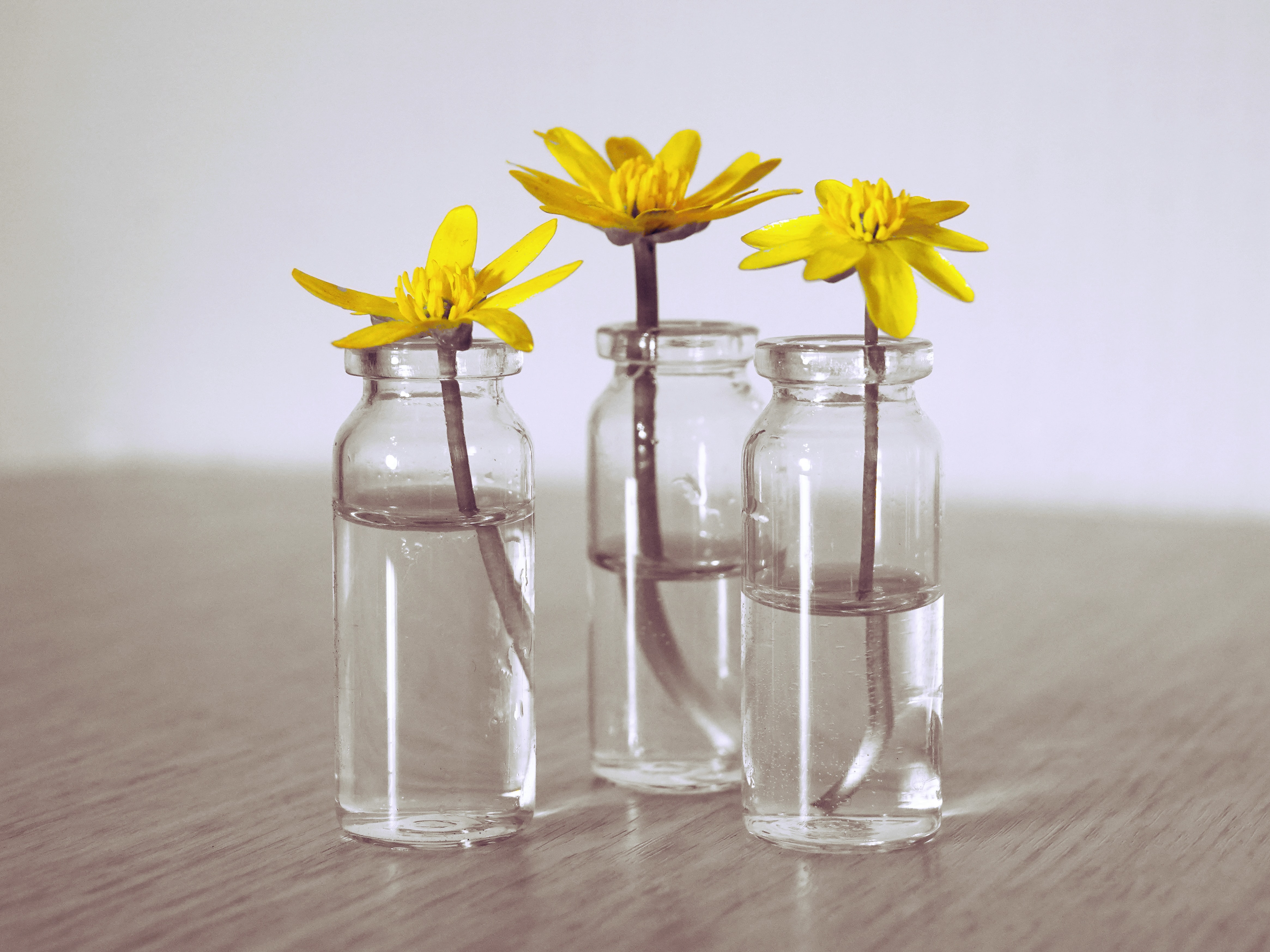three yellow petaled flowers in clear glass jars