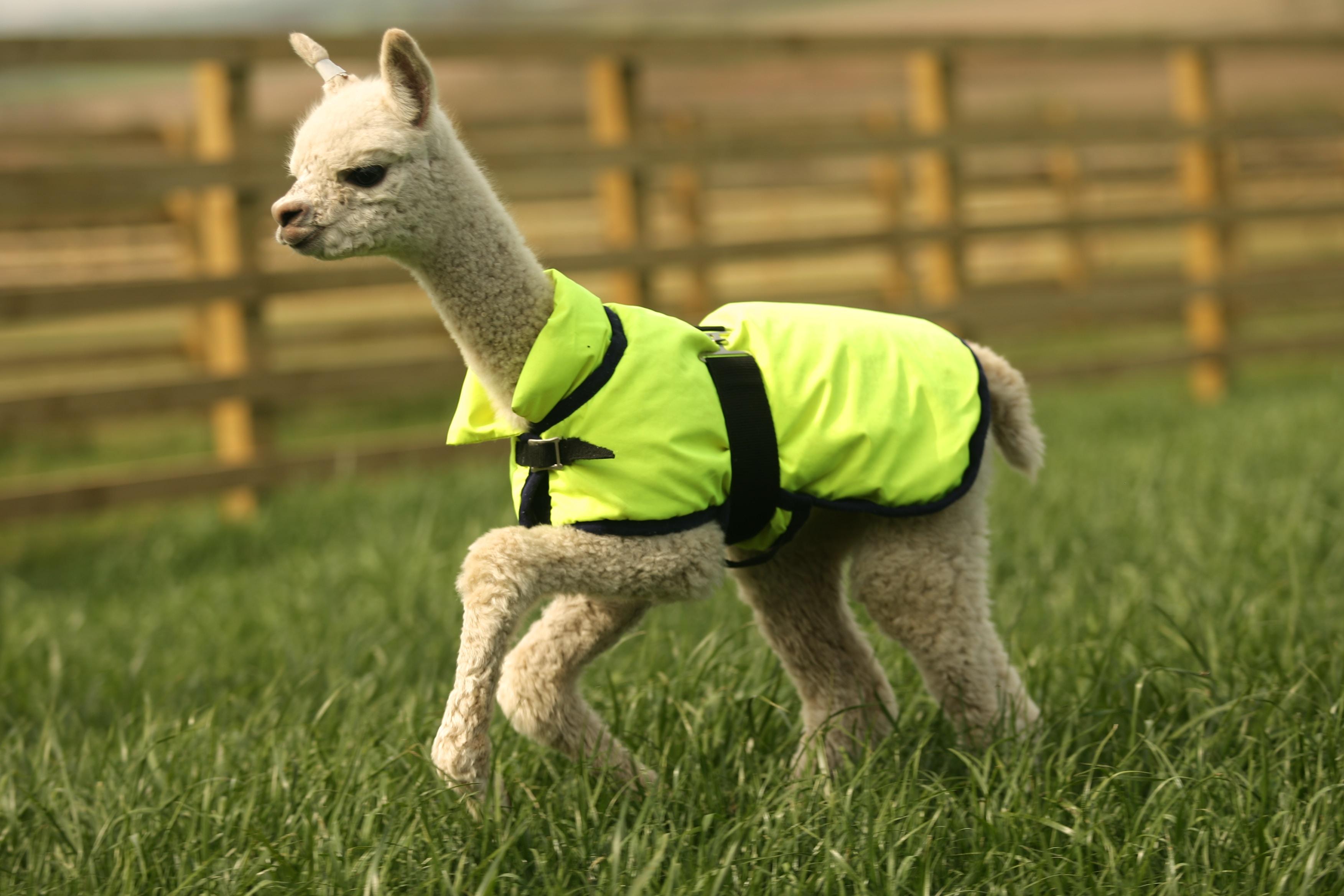 Llama on green grass