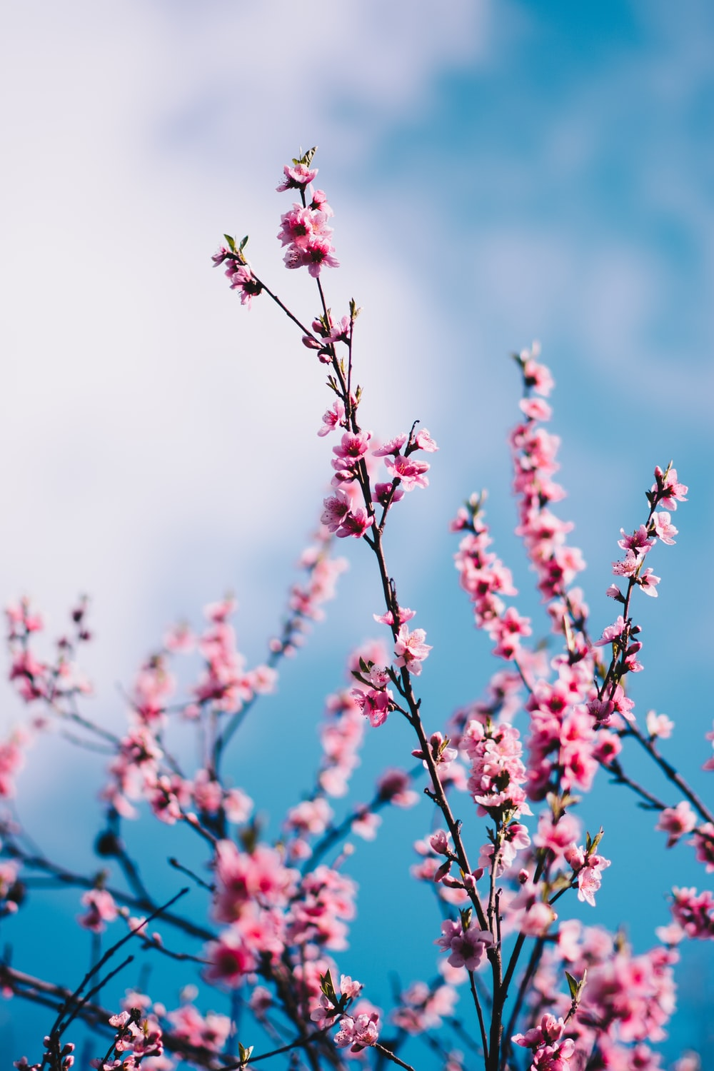 close-up photograph of pink cherry blossoms