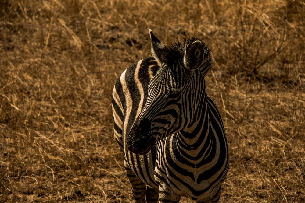 zebra on wheat