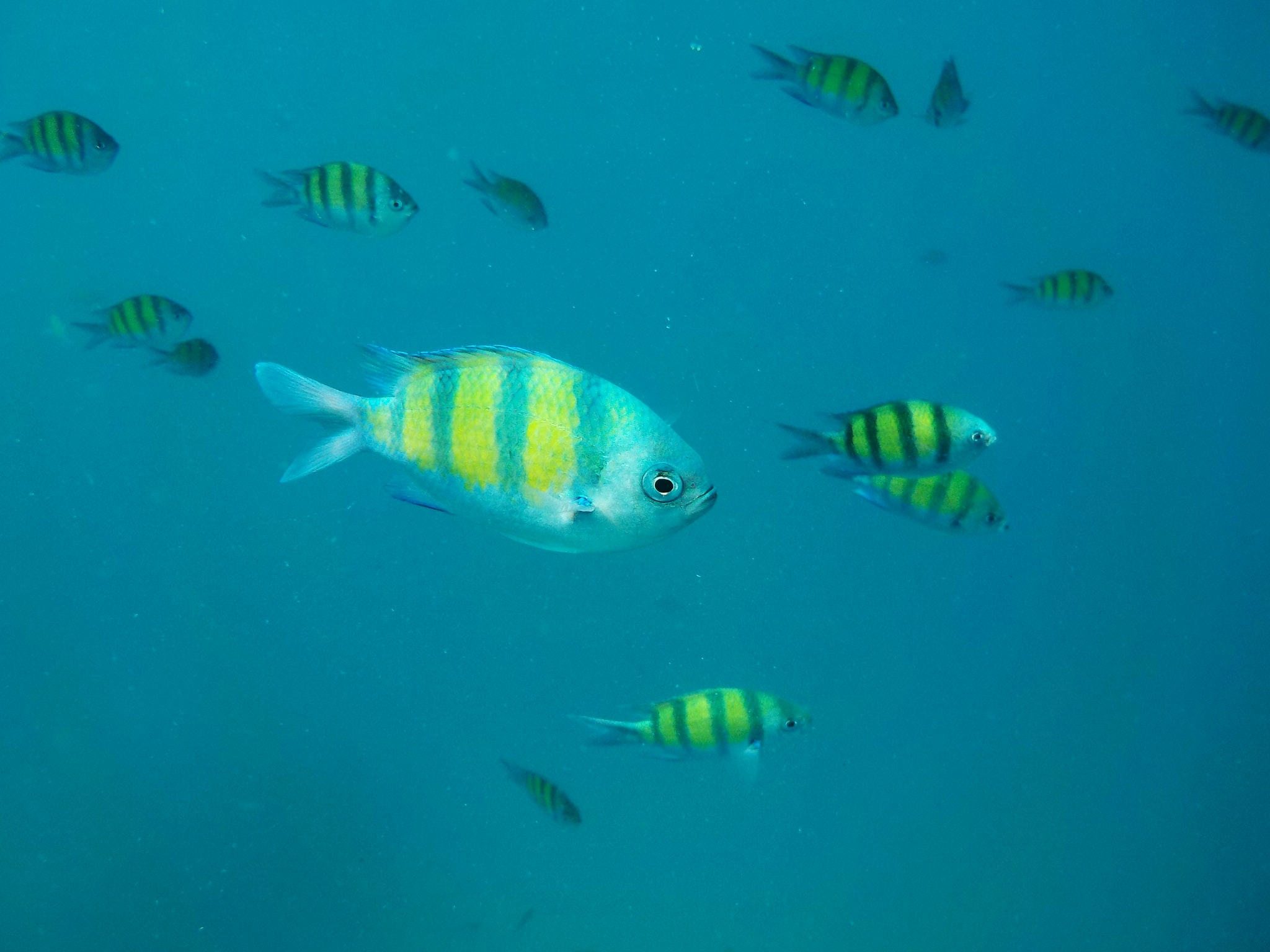 shoal of yellow and silver fishes
