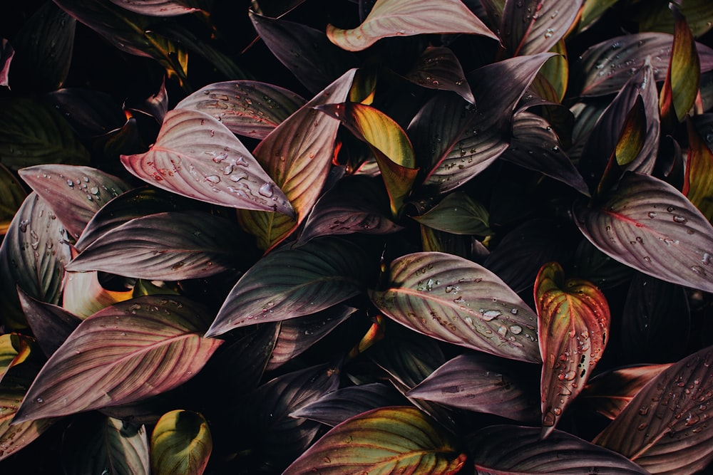 purple and green leaves with water due
