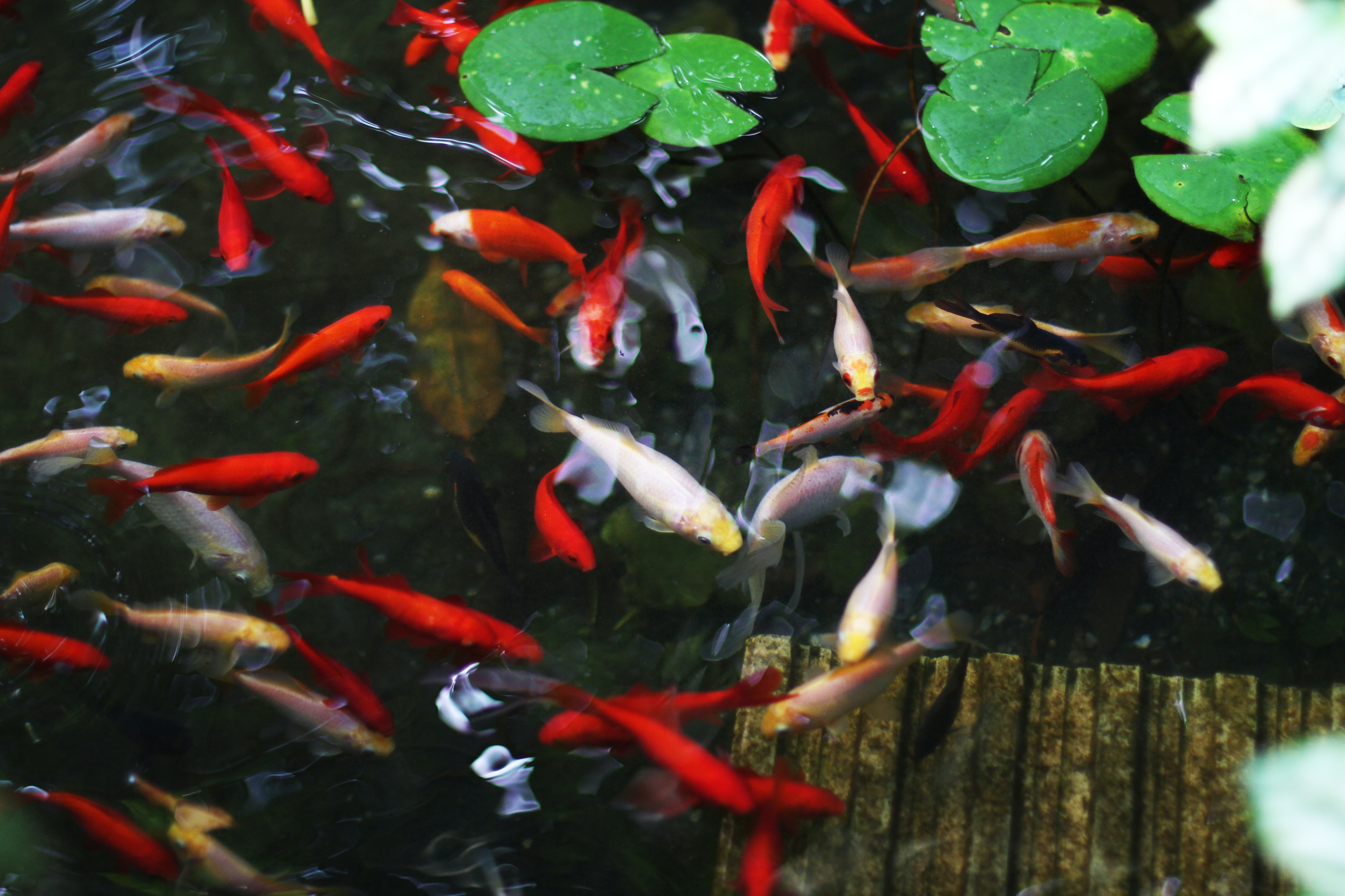 school of carp fish