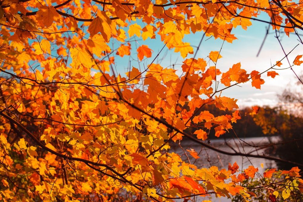 orange maple tree beside body of water