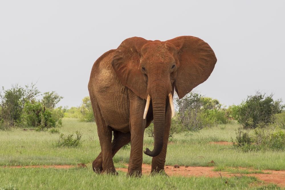 gray elephant walking on green grassfield