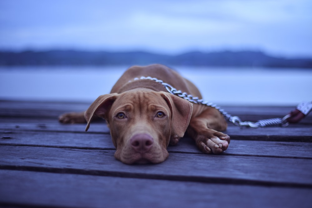 short-coated brown dog lying on brown surface