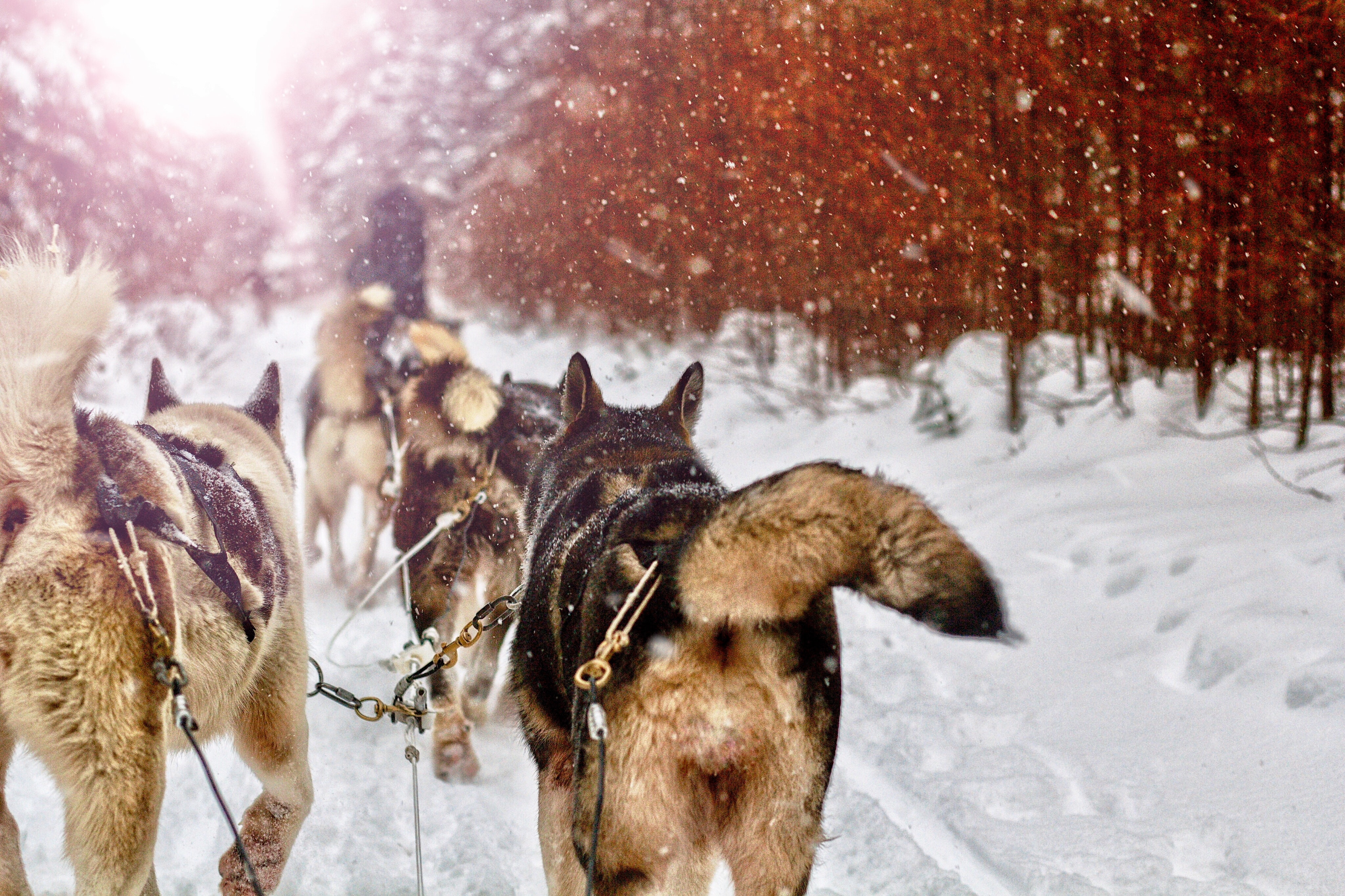 dog sled running on snowfield