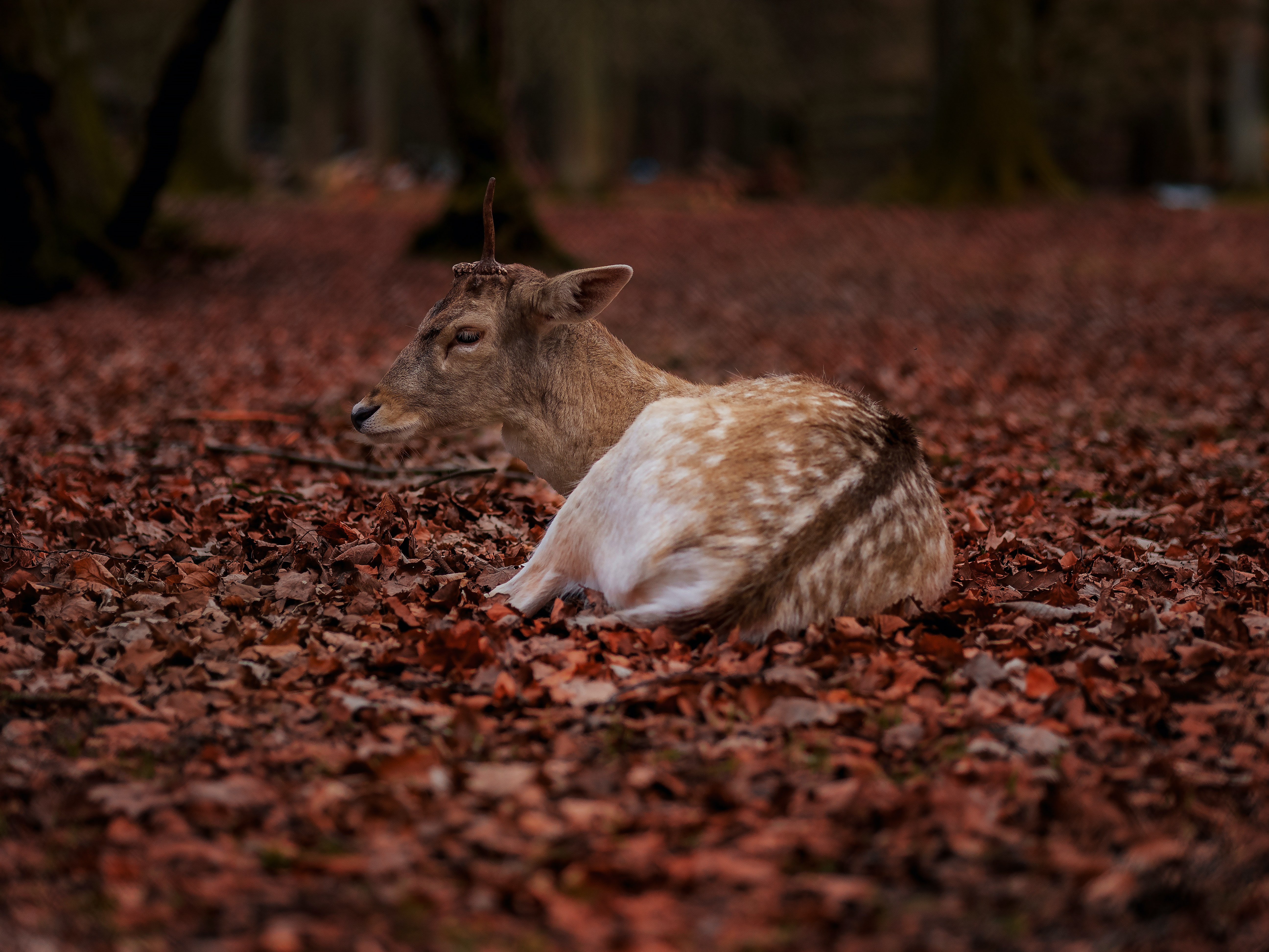 brown and white deer