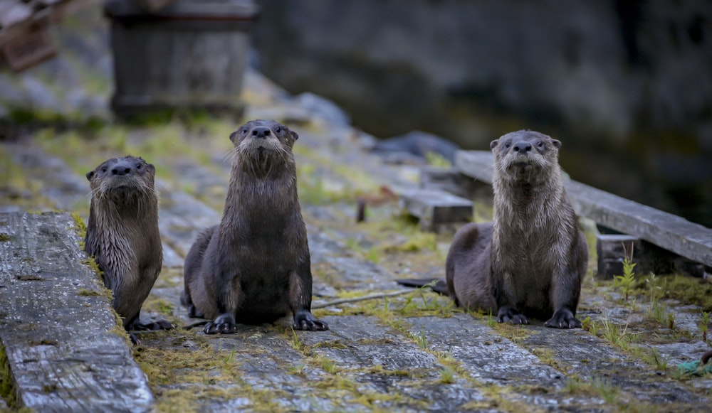 three brown beavers standing on wooden surface