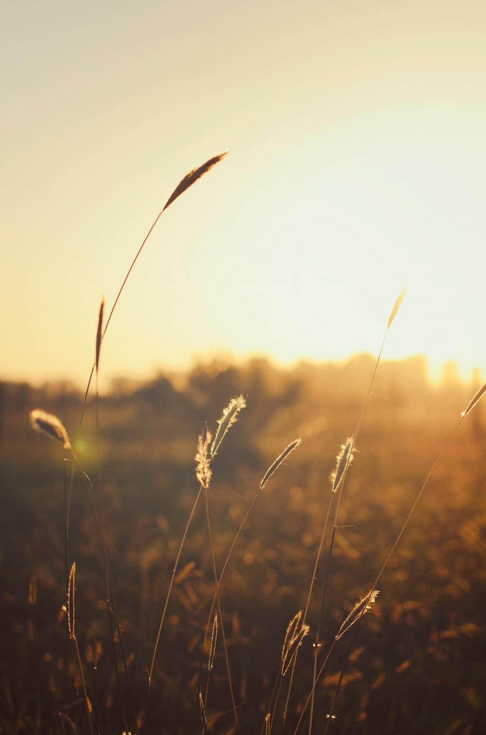 brown grass at golden hour