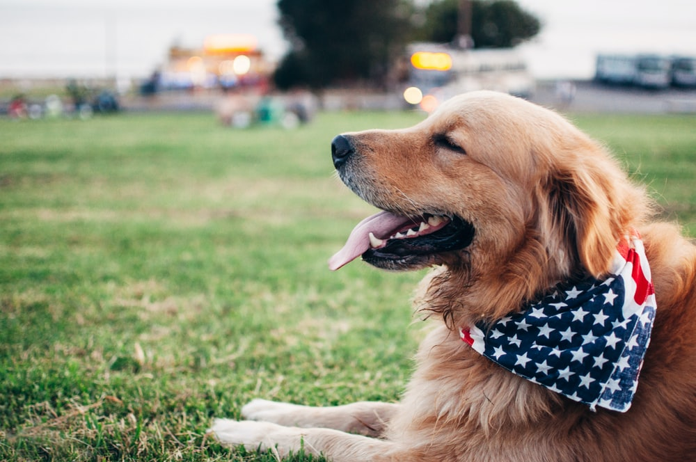 adult brown Golden retriever with Star & Stripes scarf lying on green grass