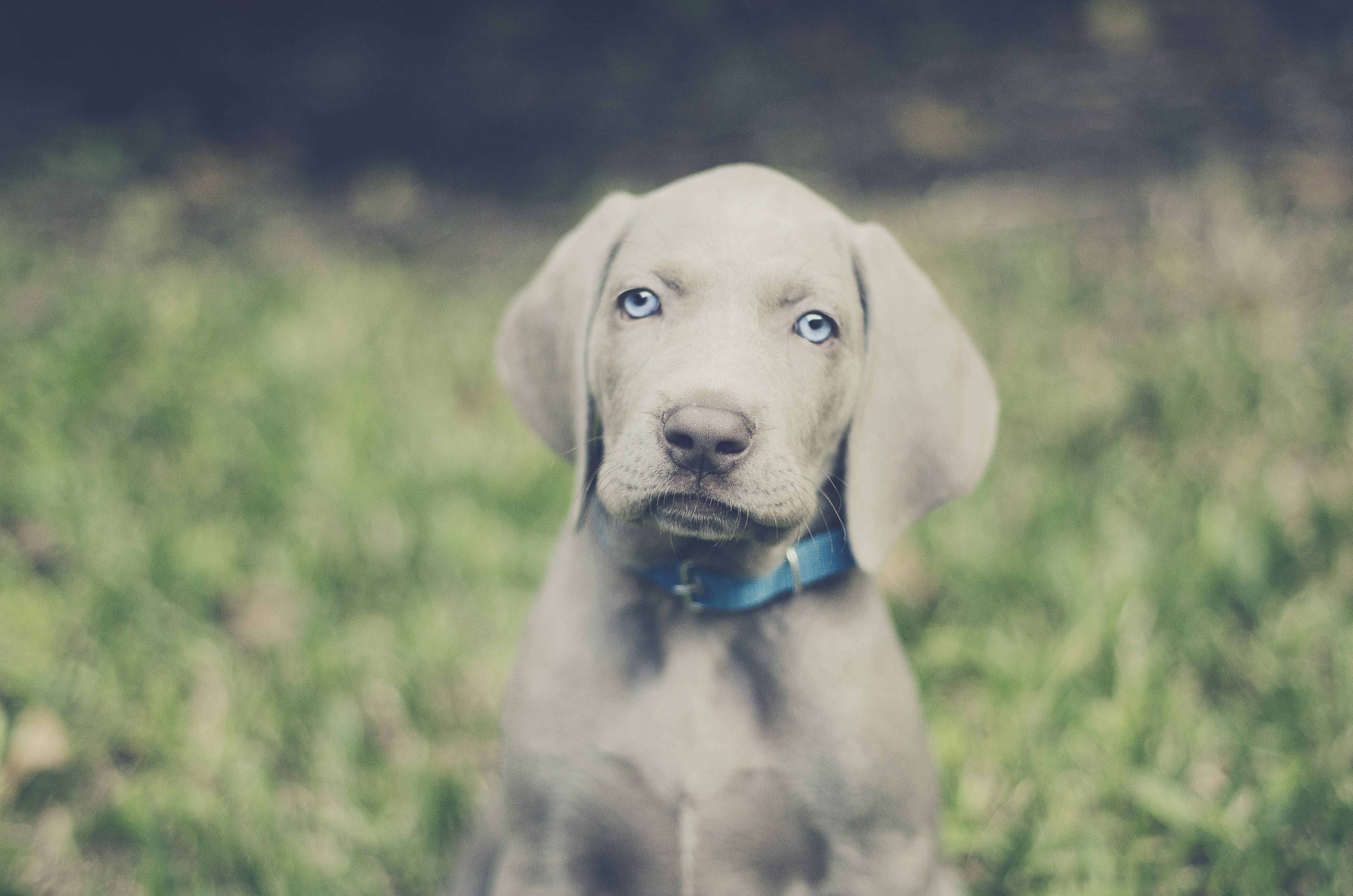 selective focus photography of gray short-coated puppy