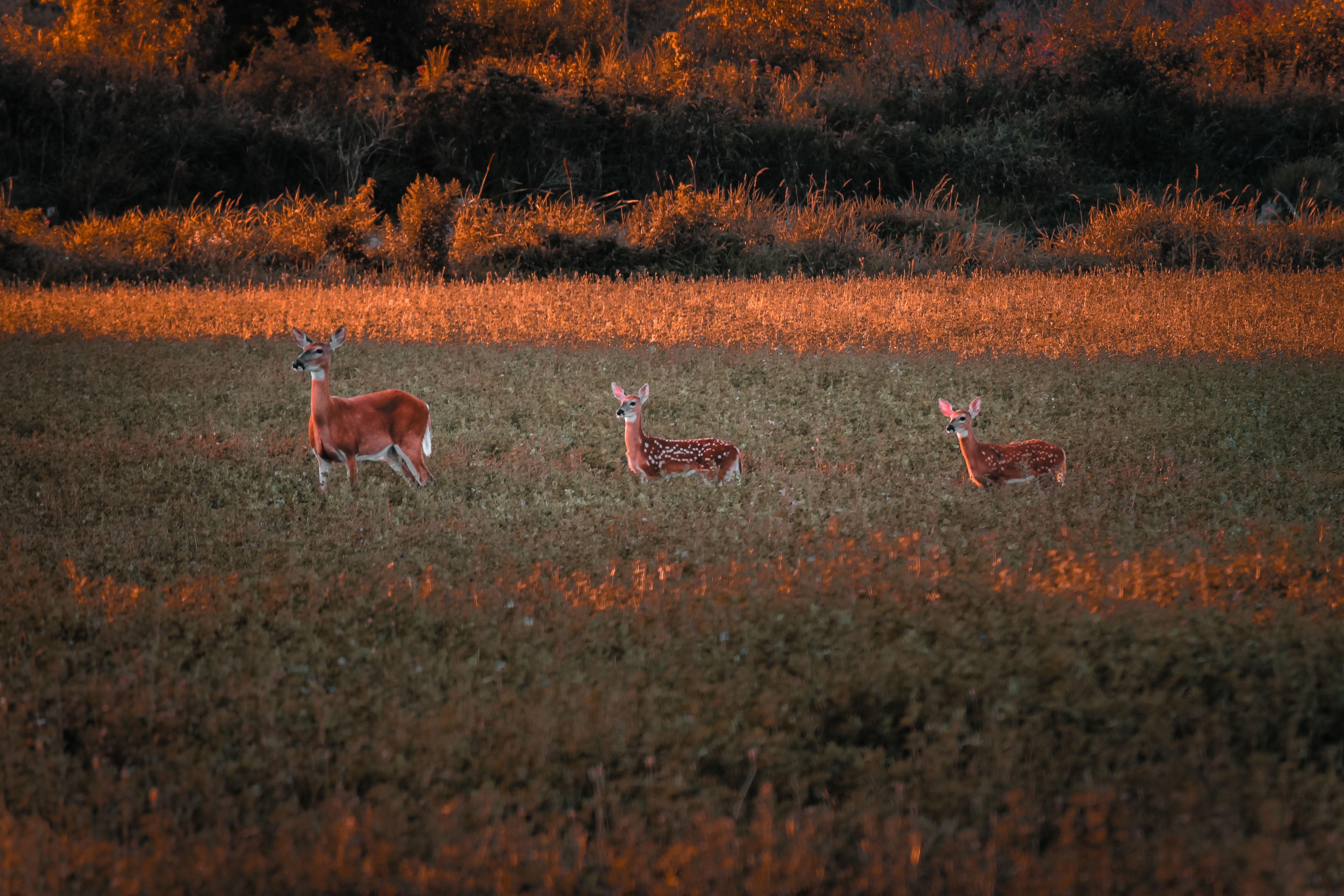 three deers on grass