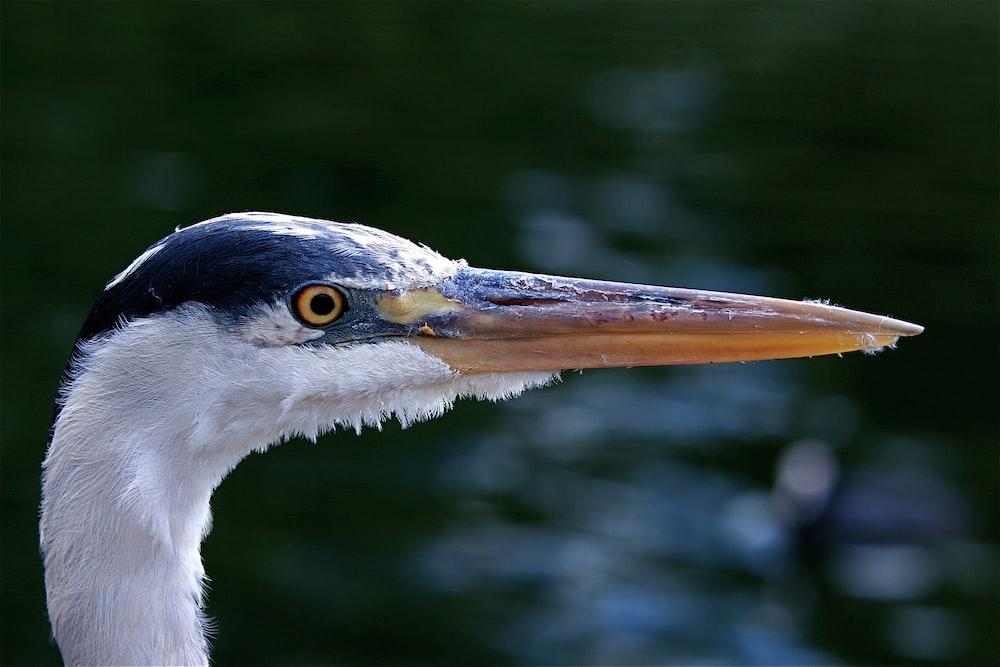 closeup photo of black and white bird's head