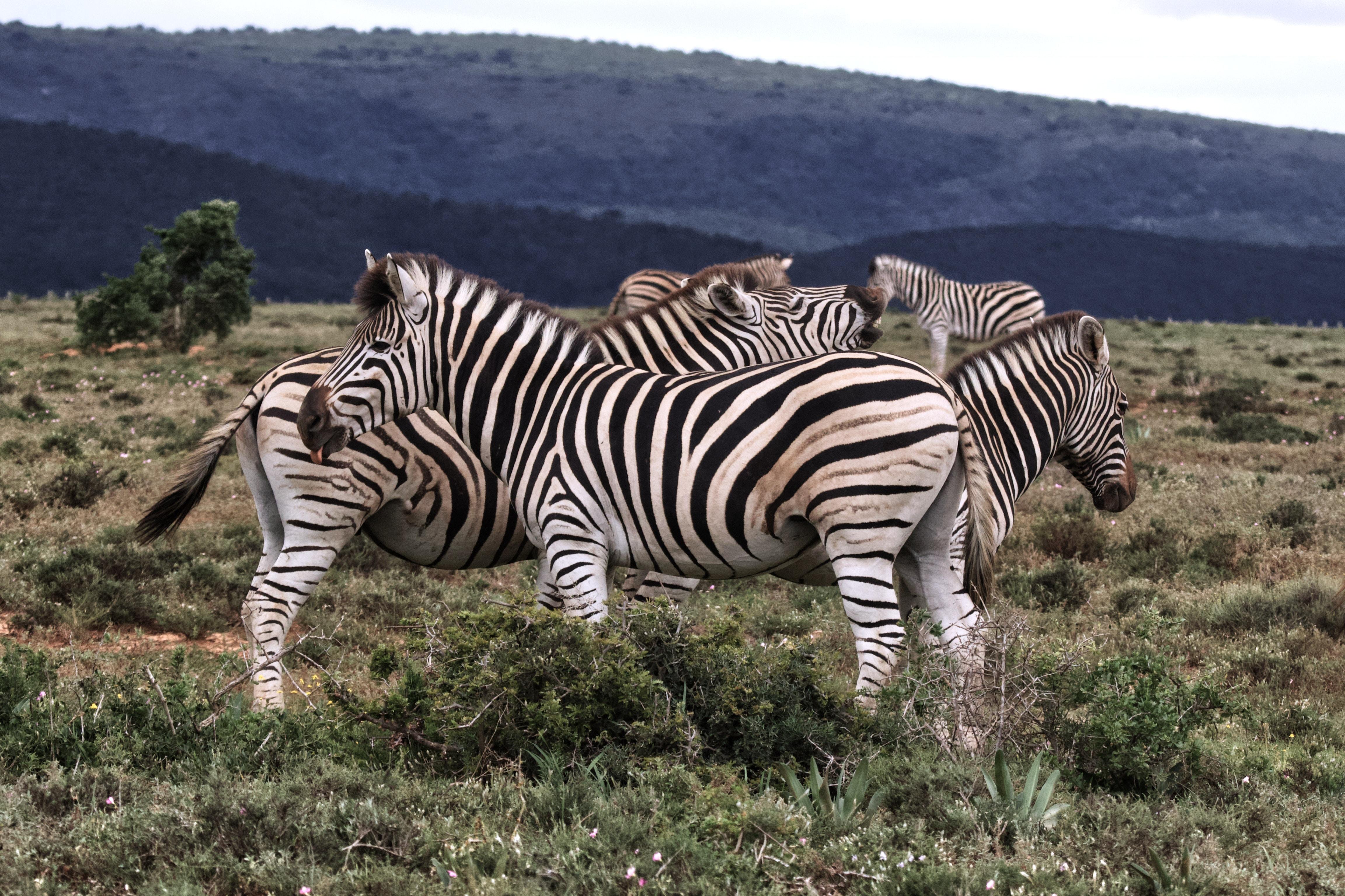 herd of zebra on grass