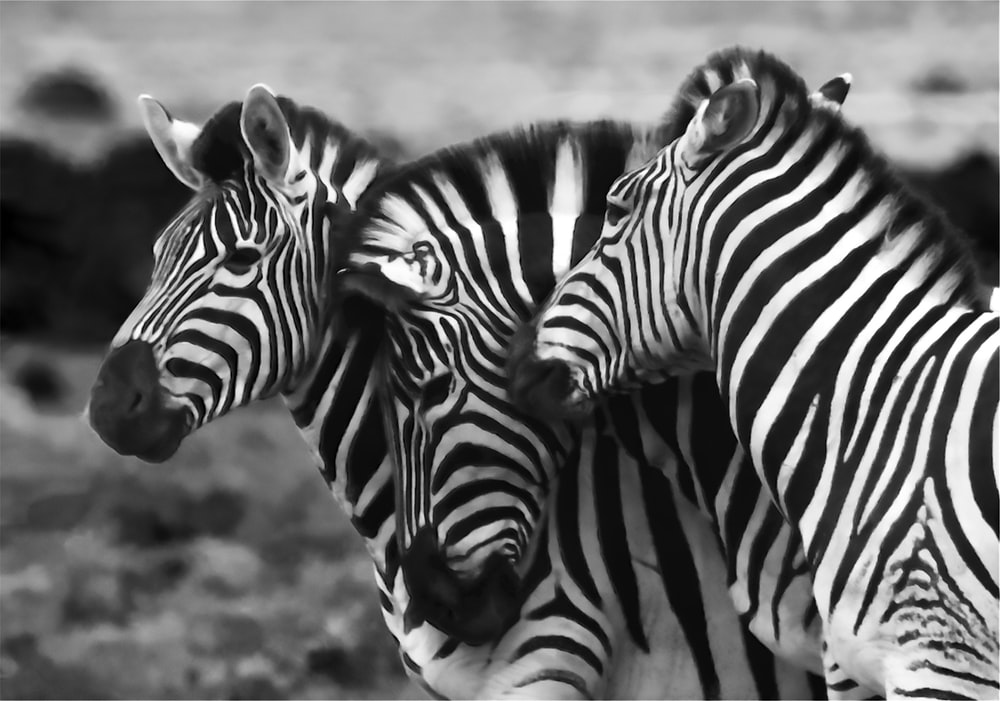 grayscale photo of three zebra