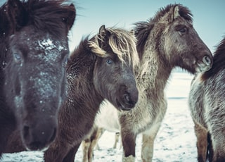 four black horses on snow covered field