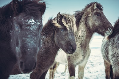 four black horses on snow covered field pony zoom background