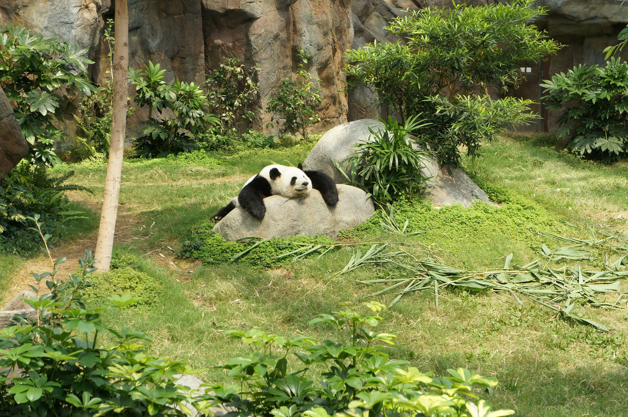 white and black panda relaxing on rock