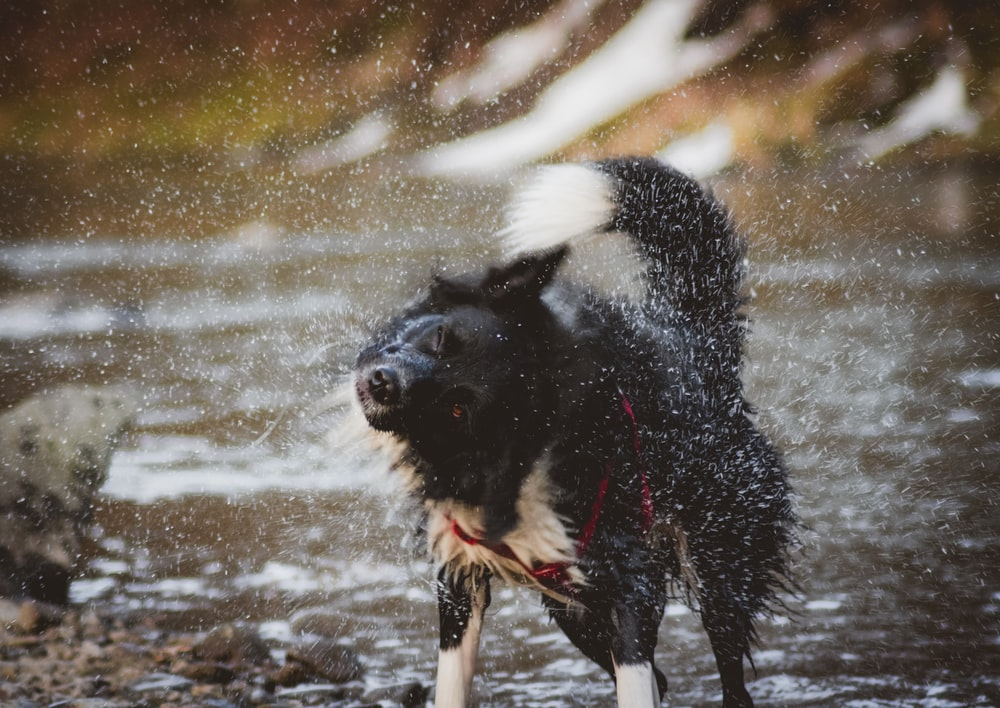 long-coated white and black dog standing beside river