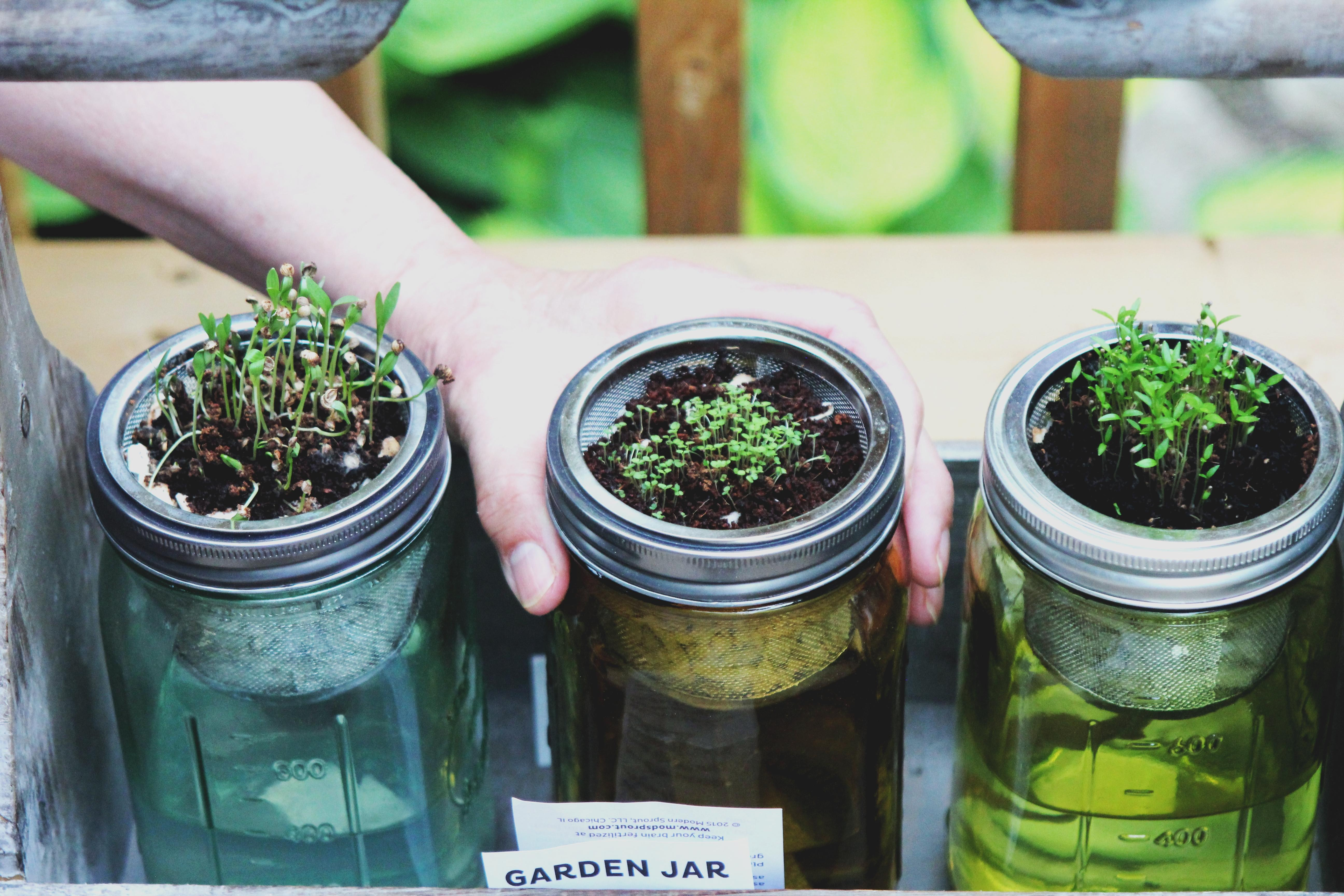 person holding three clear glass mason jars with sprouts during daytime