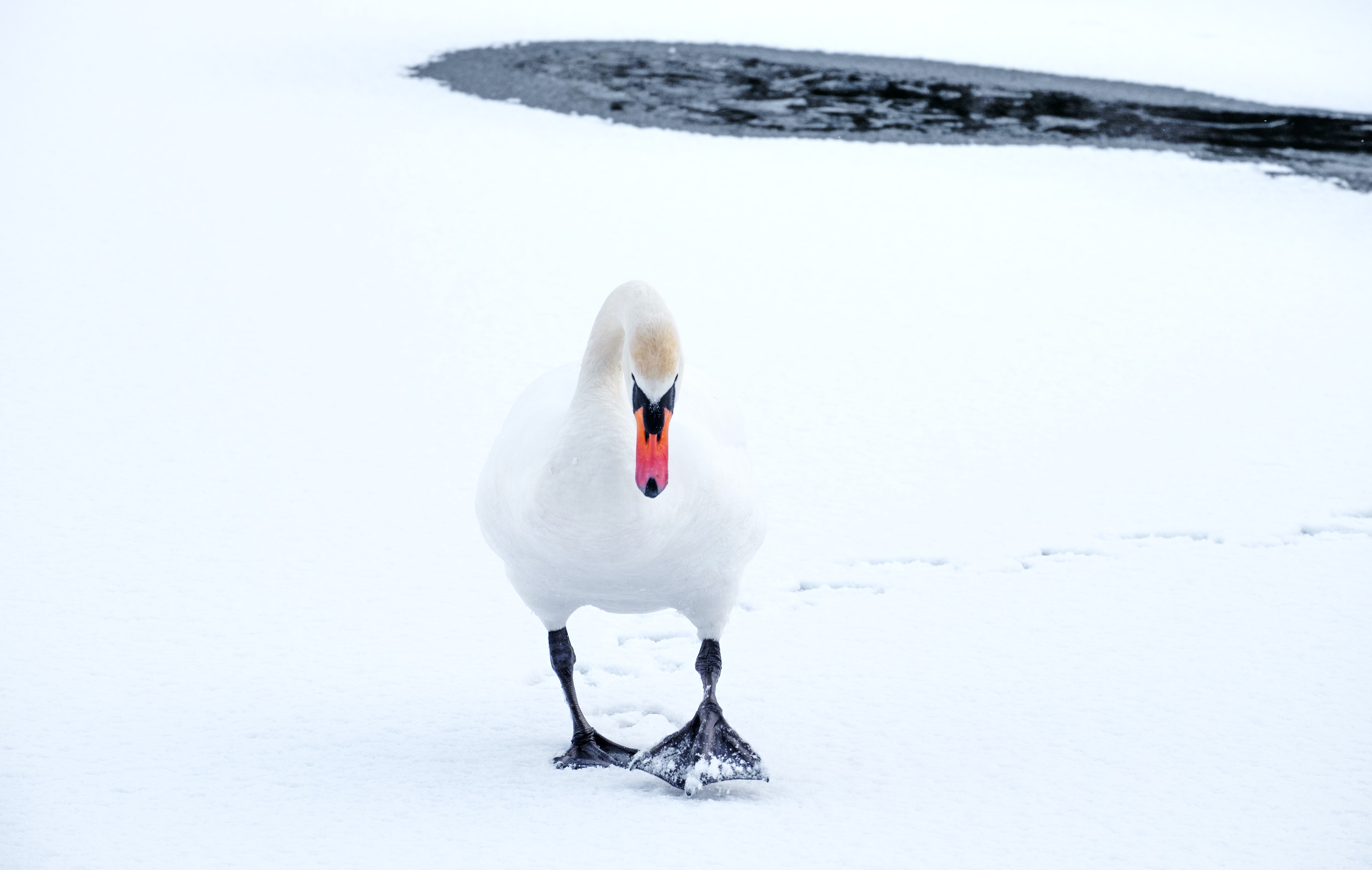 goose walking and surrounded by snow