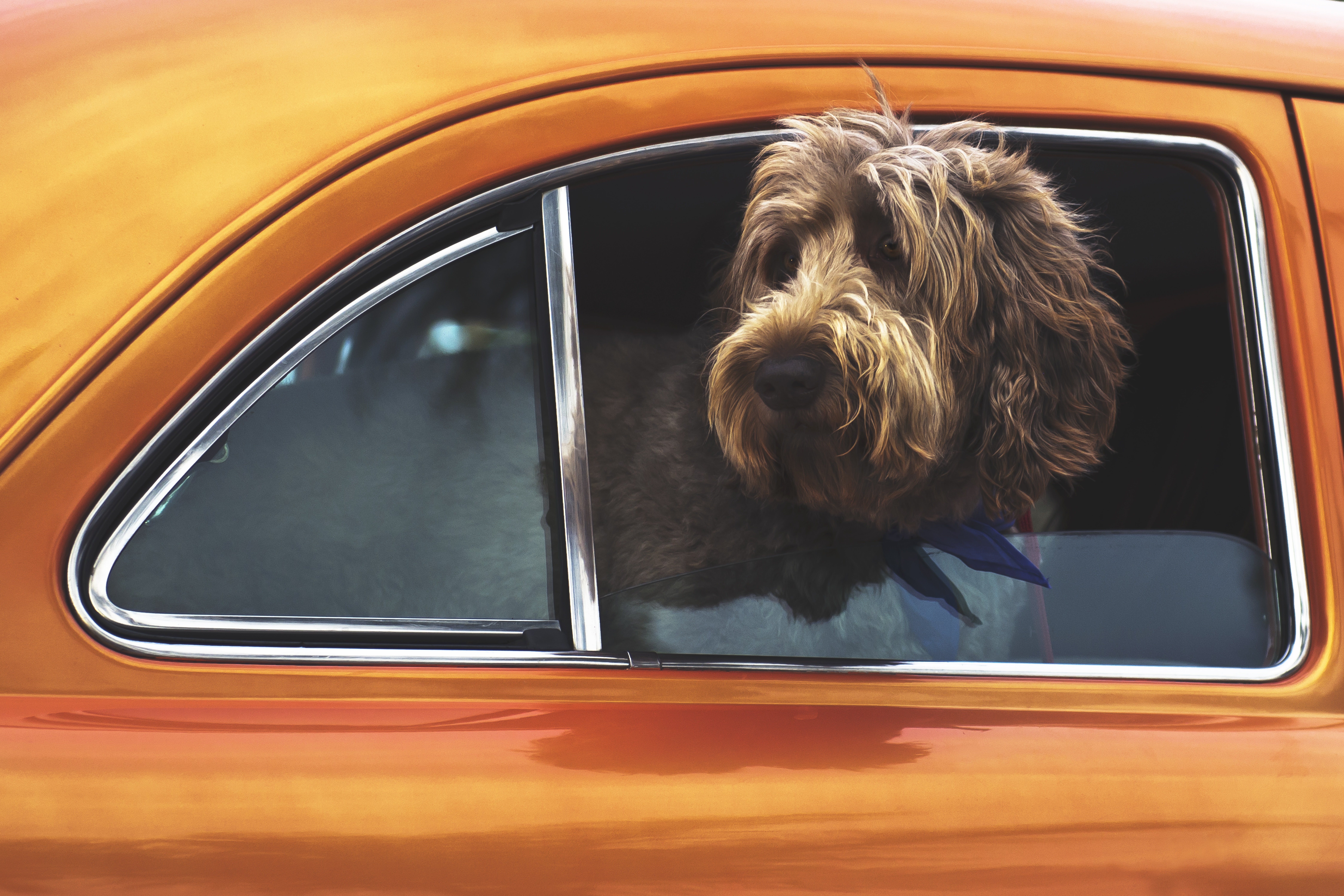 long-coated brown dog staring on vehicle window