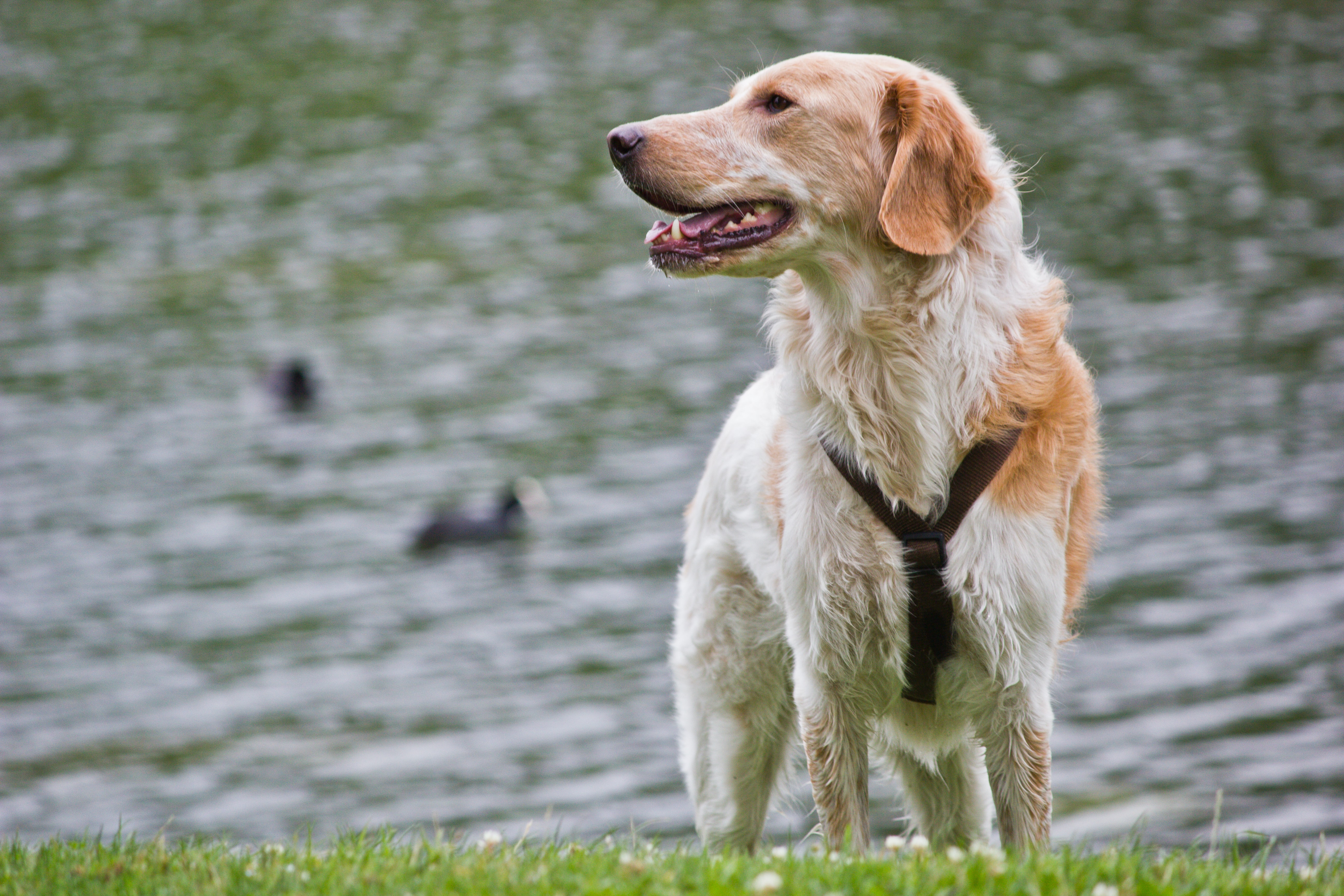long-coated white and orange dog standing of grass field near body of water