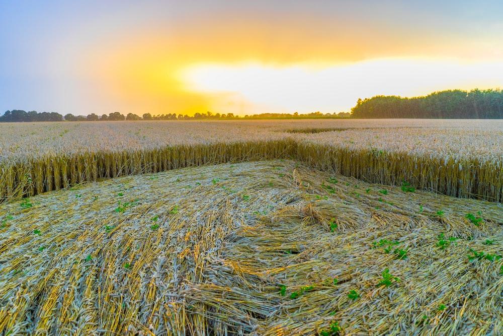 landscape photograph of wheat field