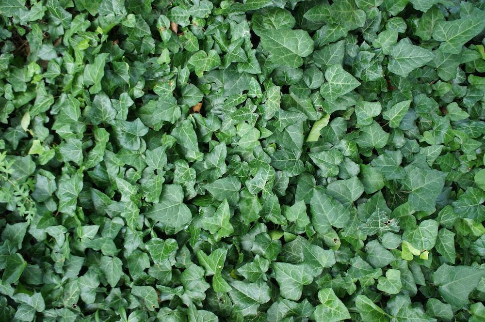 green leaf flied