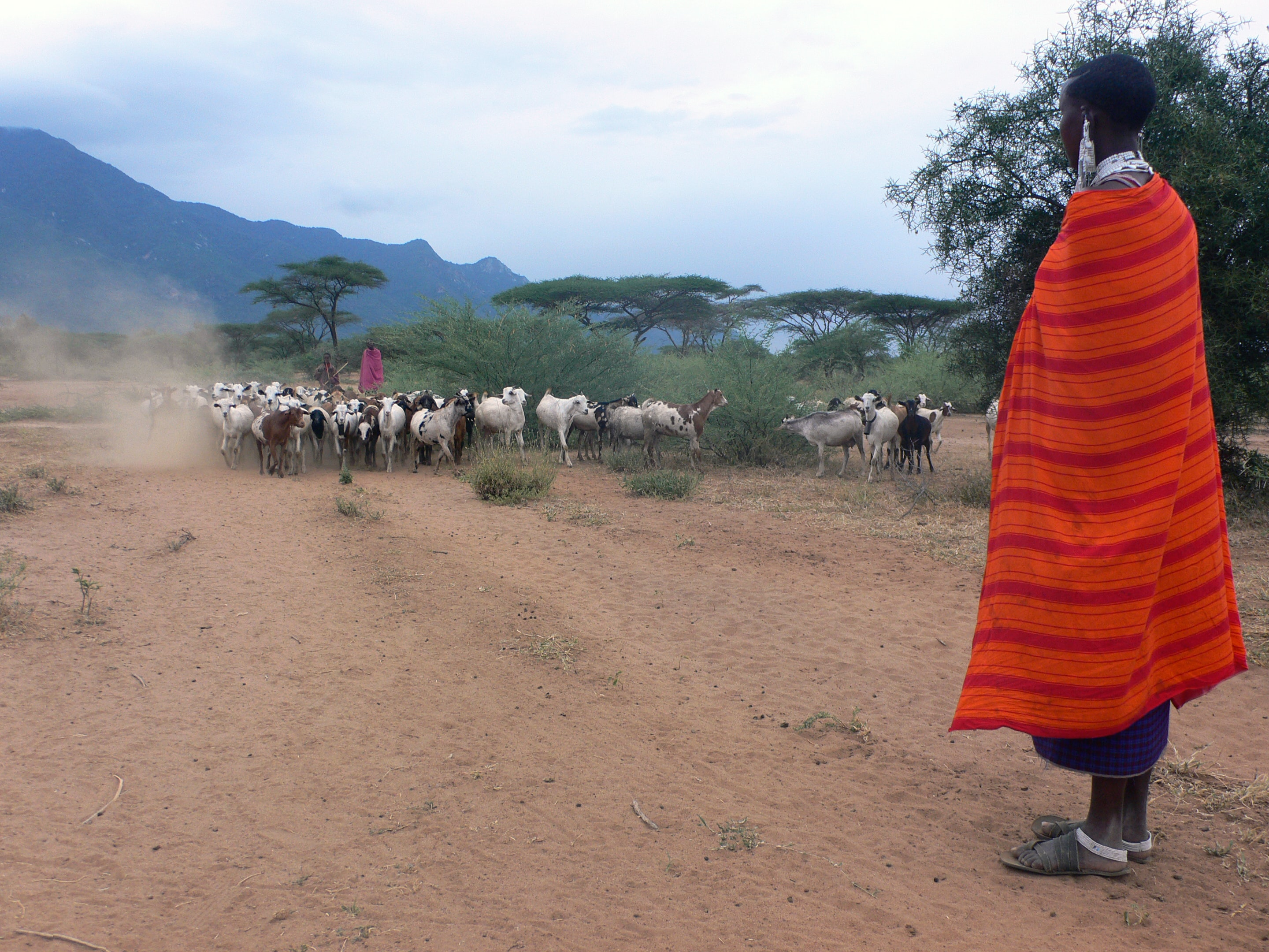 man standing near herd of goats during daytime